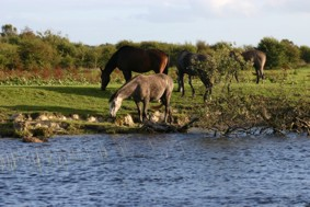 Horses grazing on the riverbank